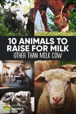 10 Highly-Productive Animals to Raise for Dairy (Other Than Milk Cow)