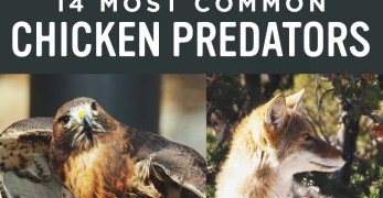 Identifying 14 Common Chicken Predators (and How to Protect Them)
