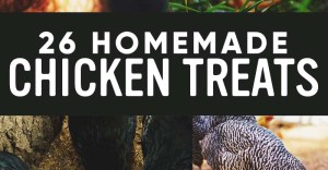 26 Homemade Healthy Chicken Treats Recipes Your Chickens Will Love