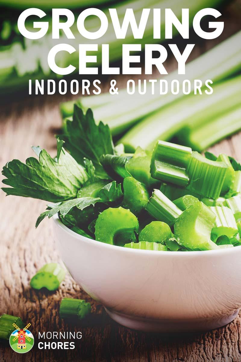 2 Effortless Ways of Growing Celery: Indoors (from Scraps) & Outdoors