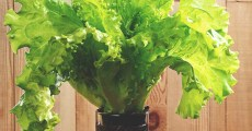 5 Proven Ways to Grow Lettuce Indoors & in Containers Year Round