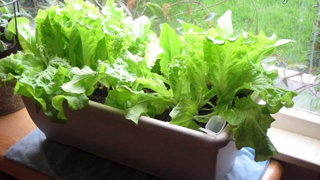 5 proven ways to growing lettuce indoors in containers year round. Black Bedroom Furniture Sets. Home Design Ideas