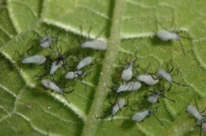 squash-bugs