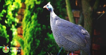 Raising Guinea Fowl: All You Need to Know to Do It Right