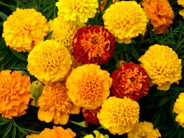 Petite-Mix-Marigold-flowers
