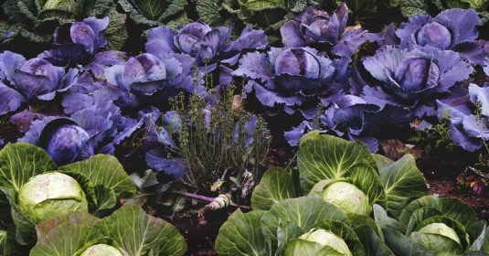 Growing Cabbage: How to Plant, Grow, and Harvest Cabbage Successfully