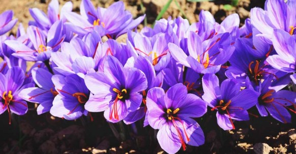 Growing Saffron: A Complete Guide to Planting and Taking ...
