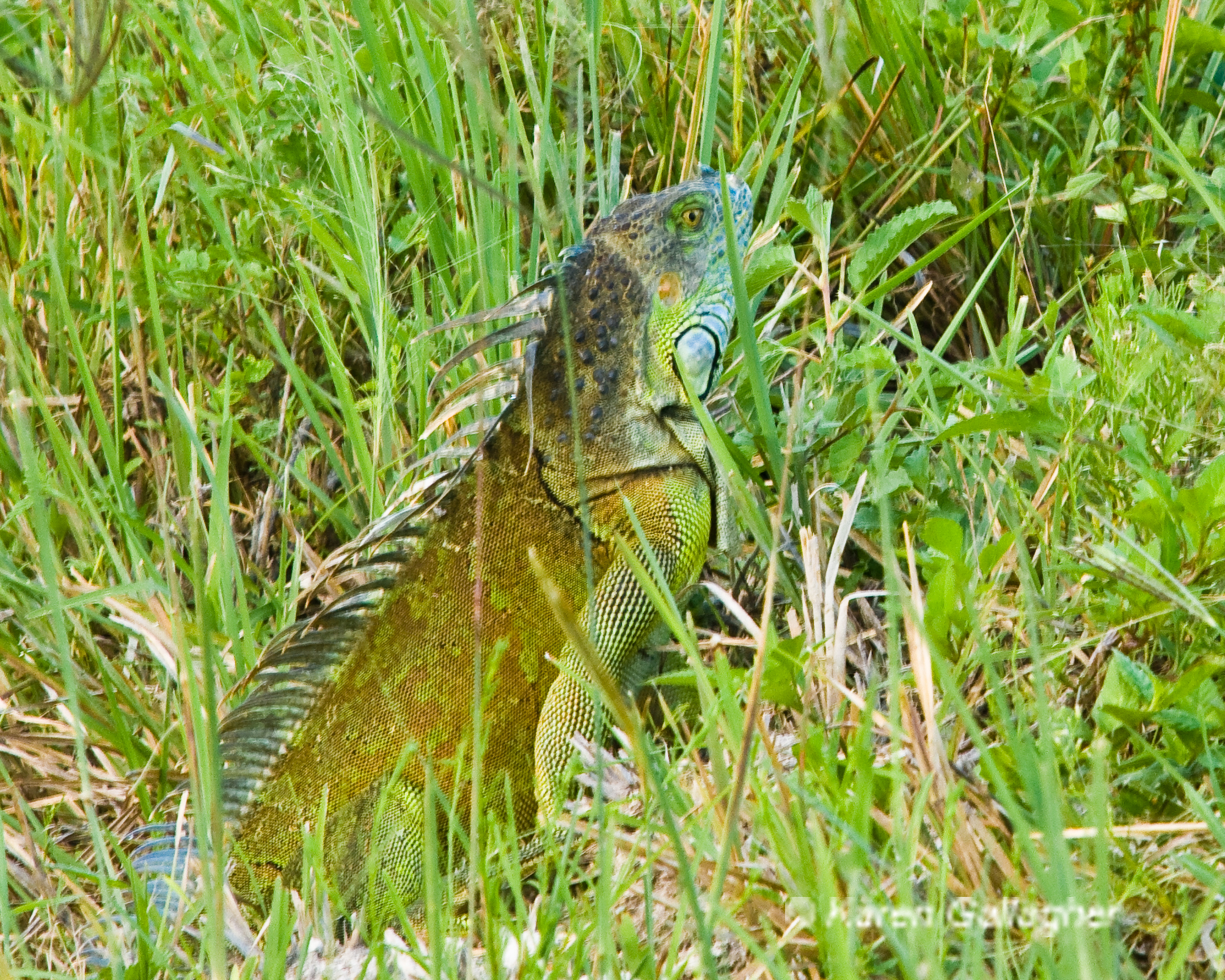 Blue-faced Iguana in Tall Grass