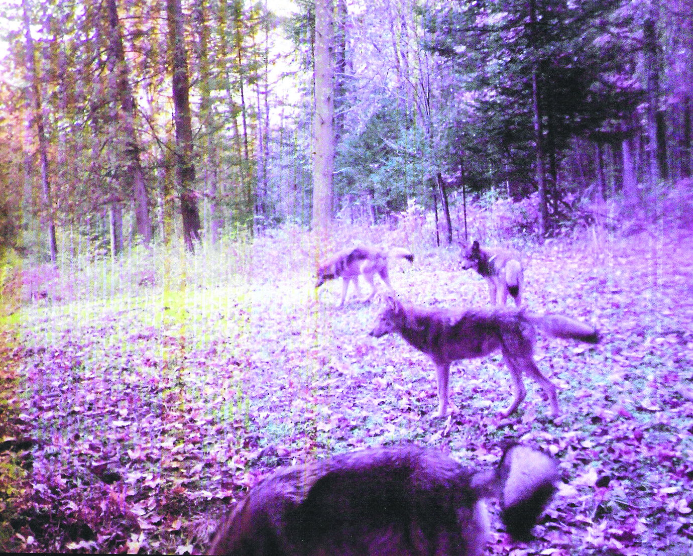 34 Deer And Wolf Population Worksheet Answers