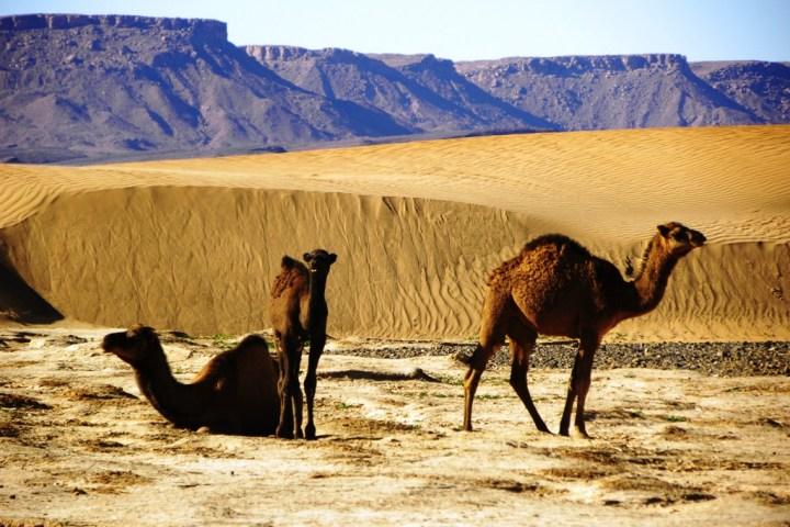 Desert Camel2