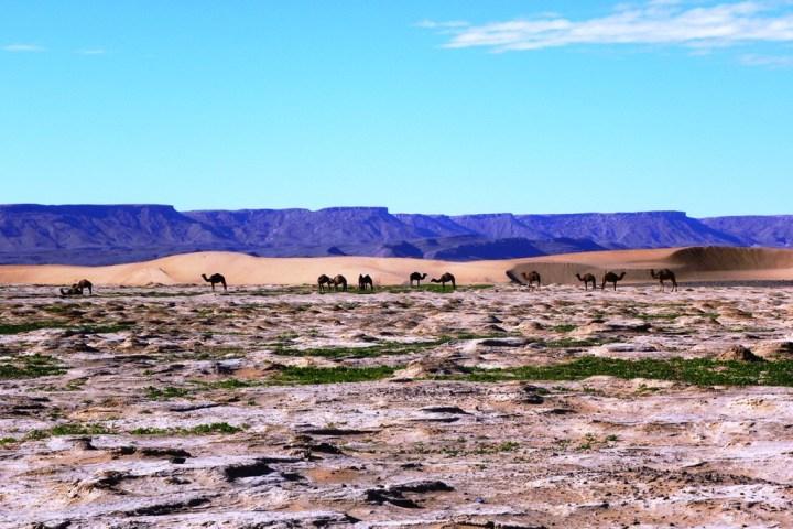 Desert Camel4
