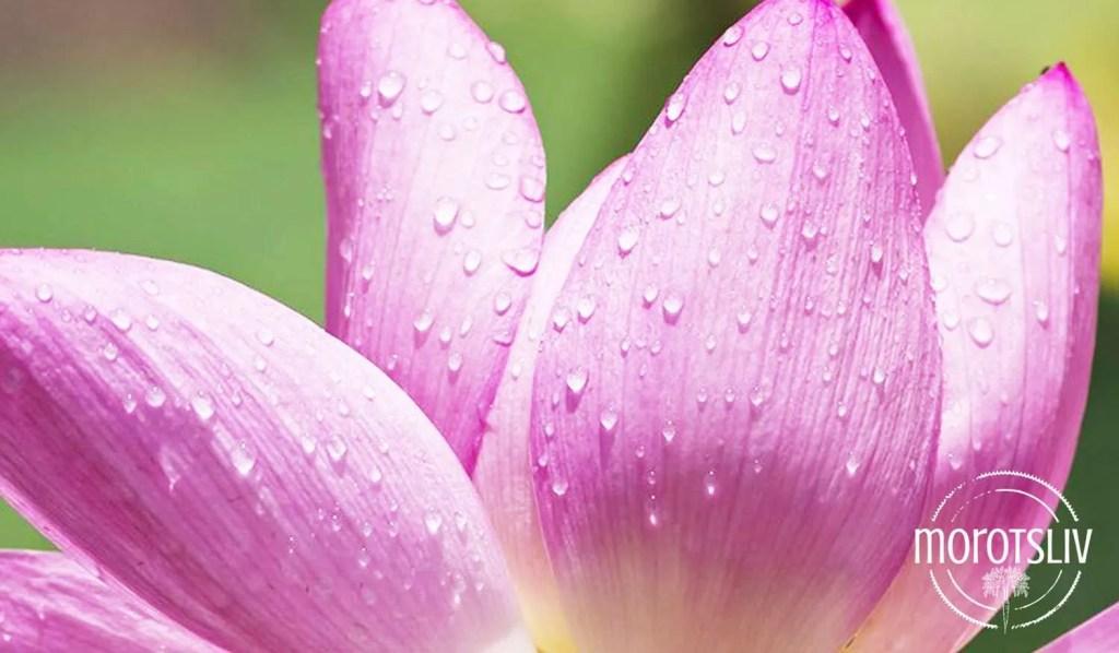 lotuseffekten2