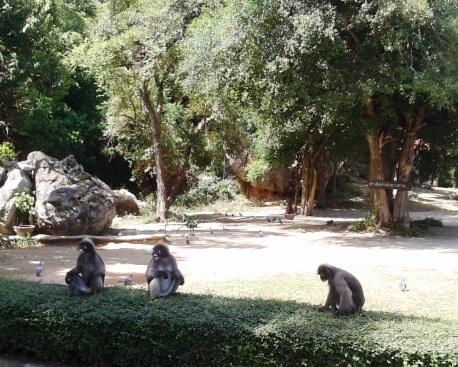 Dusky Langurs at Khao Lom Muak, Prachuap Khiri Khan