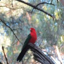 Australian King Parrot, Dandenong Ranges, Melbourne
