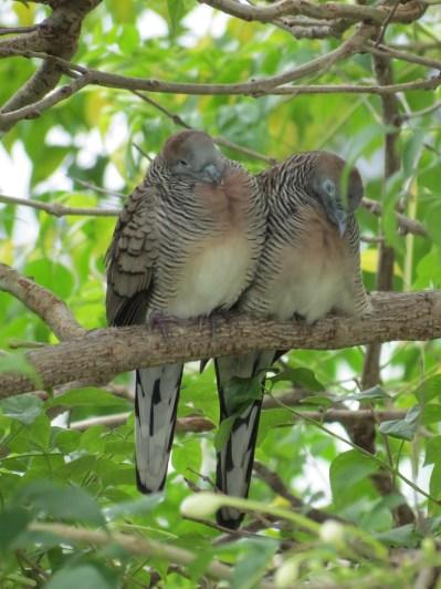 Peaceful Dove (Geopelia striata), Bangkok
