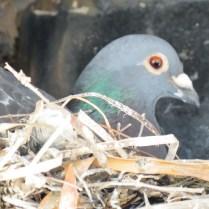 Domestic Pigeon (Columbia livia)