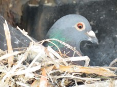 Domestic Pigeon (Columbia livia)