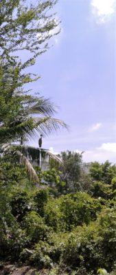 Asian openbill stork (Anastomus oscitans), Bangkok