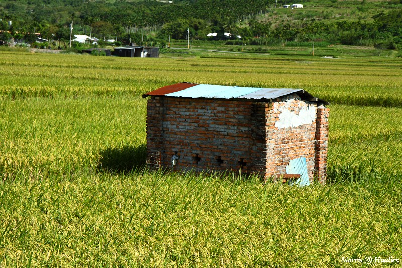 花東縱谷的稻香味 (40)