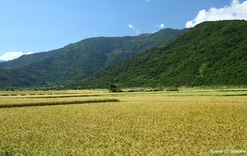 花東縱谷的稻香味 (8)
