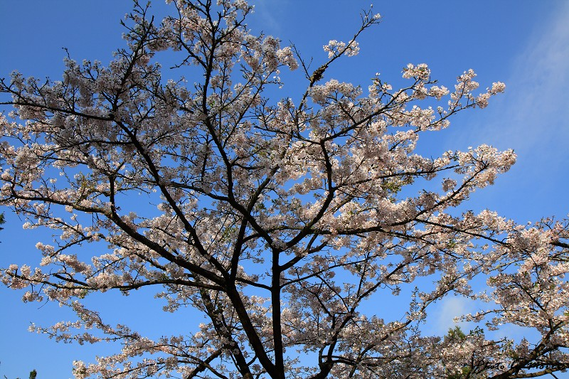 2010阿里山櫻花季 (06)