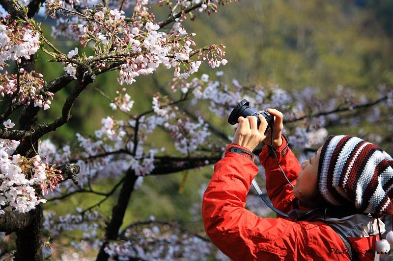 2010阿里山櫻花季 (38)