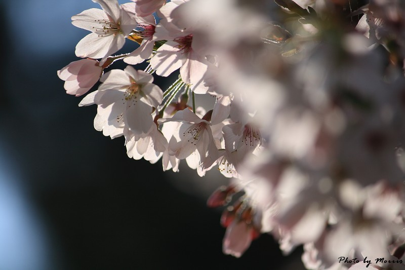 2010阿里山櫻花季 (33)