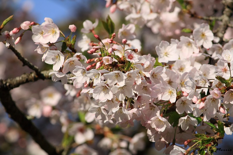 2010阿里山櫻花季 (08)