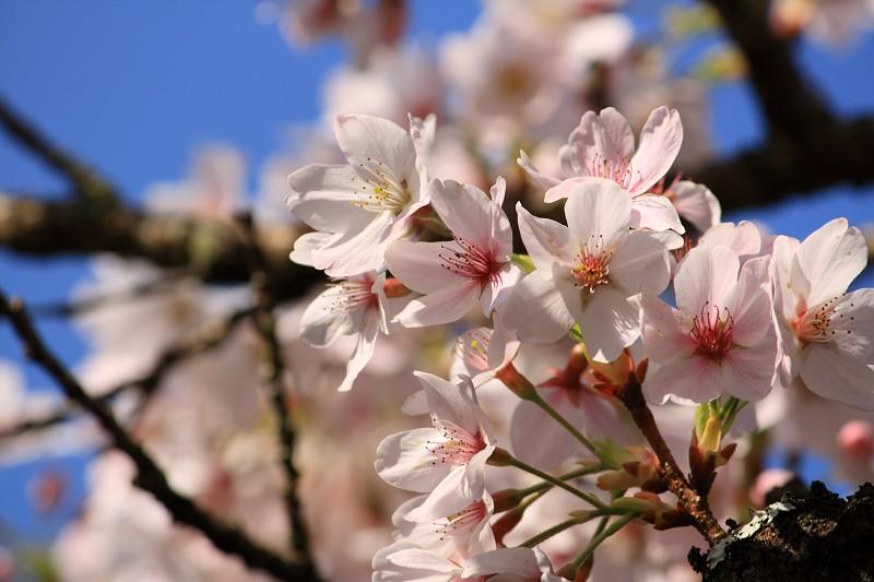 2010阿里山櫻花季 (28)
