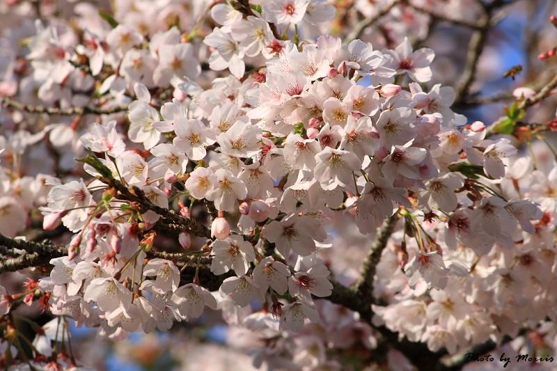 2010阿里山櫻花季 (09)