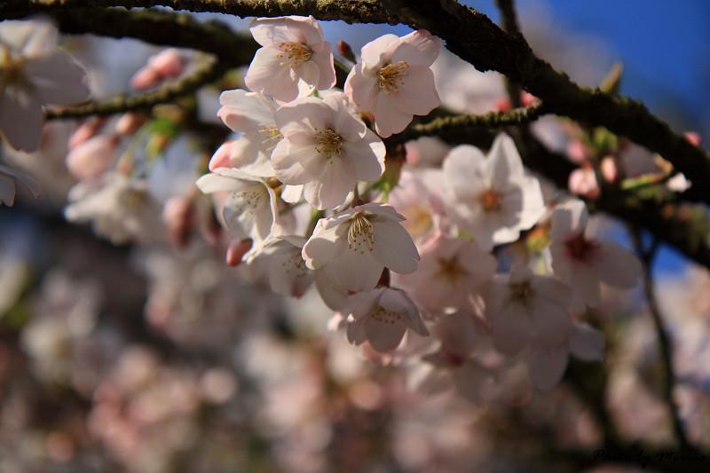 2010阿里山櫻花季 (02)