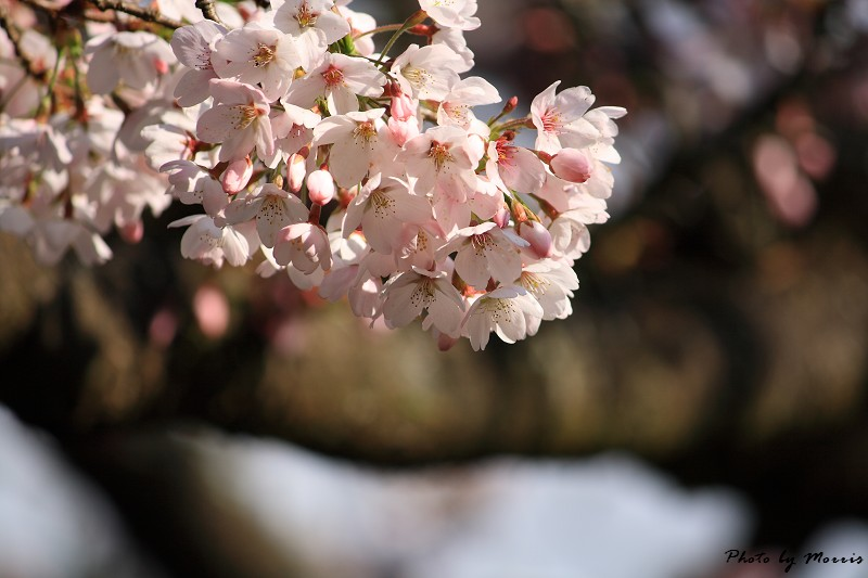 2010阿里山櫻花季 (27)