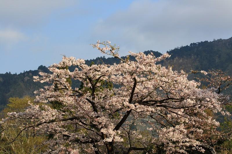 2010阿里山櫻花季 (22)