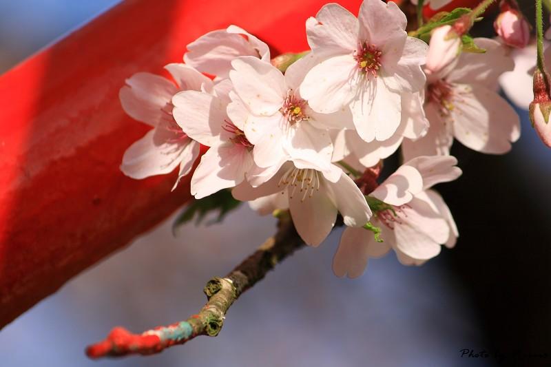 2010阿里山櫻花季 (25)