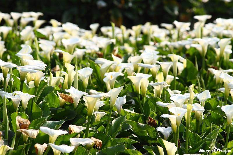 竹子湖海芋節 (28)