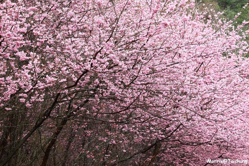 武陵農場粉紅櫻花季 (58)