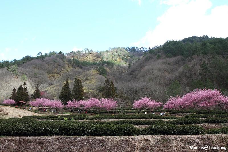 武陵農場粉紅櫻花季 (136)
