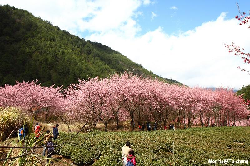 武陵農場粉紅櫻花季 (133)