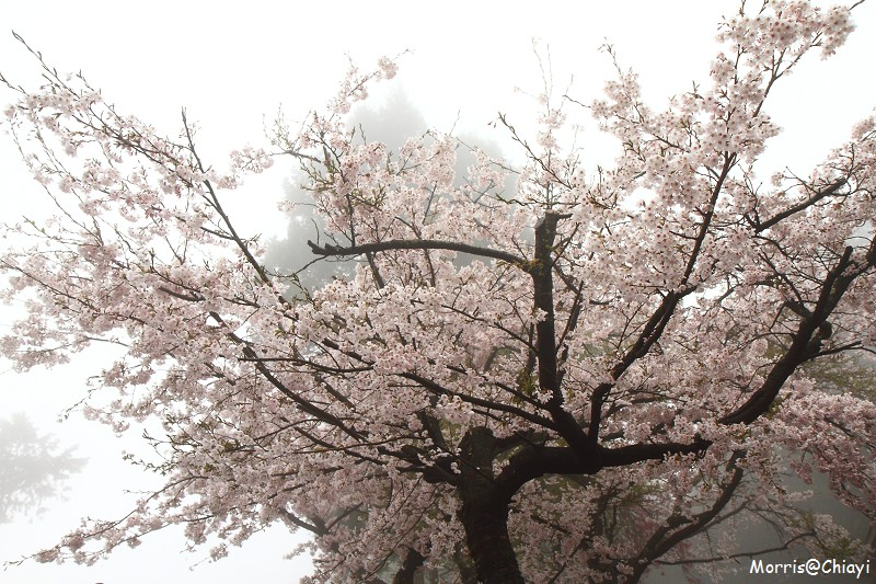2011 阿里山櫻花季 (10)