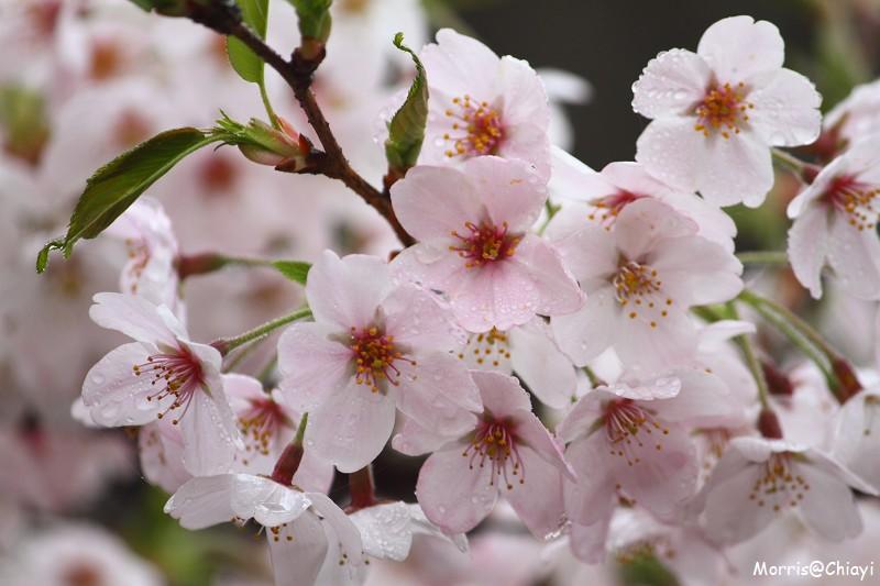 2011 阿里山櫻花季 (126)