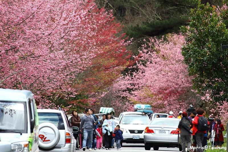 武陵農場粉紅櫻花季 (99)