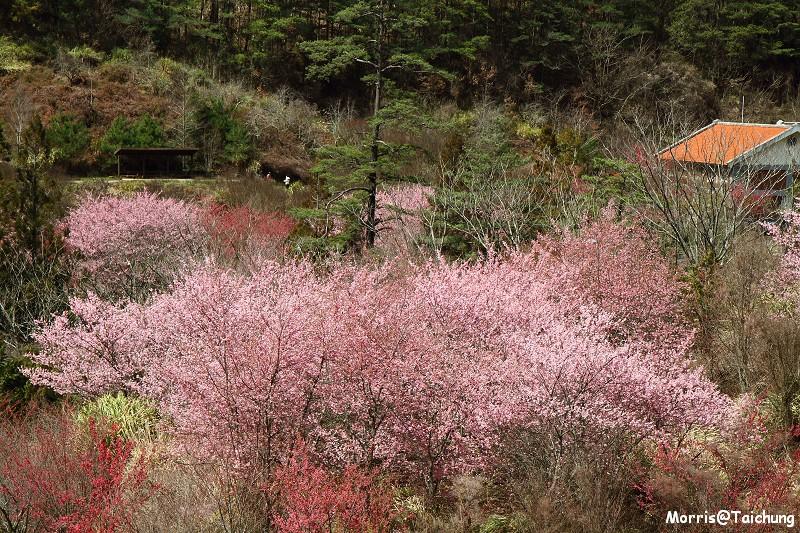 武陵農場粉紅櫻花季 (119)