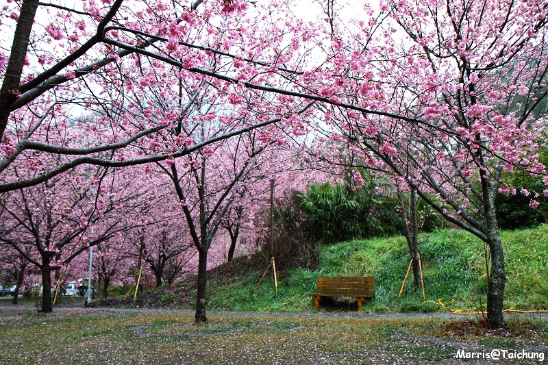 武陵農場粉紅櫻花季 (3)