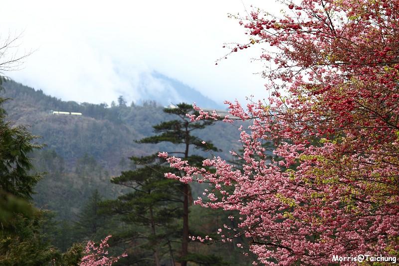 武陵農場粉紅櫻花季 (63)