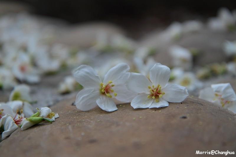 2011油桐花季 挑水古道
