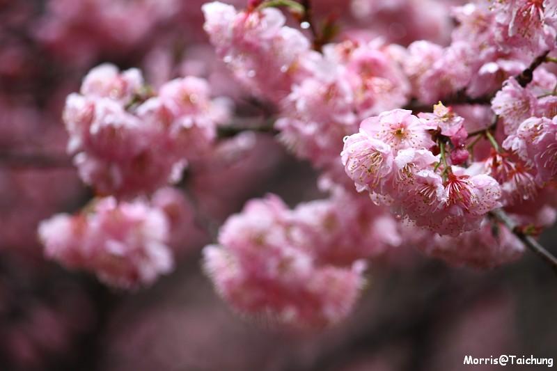武陵農場粉紅櫻花季 (40)