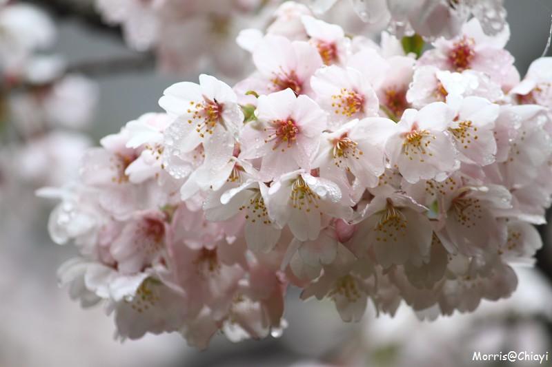 2011 阿里山櫻花季 (111)