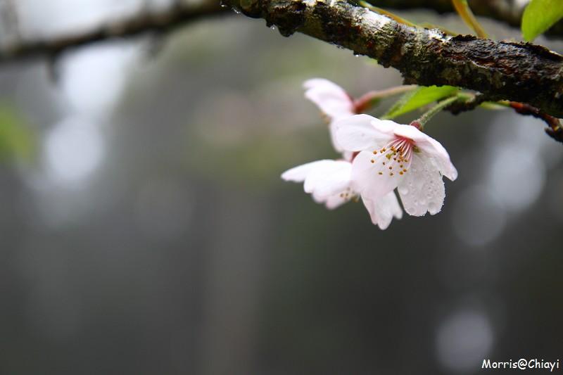 2011 阿里山櫻花季 (40)