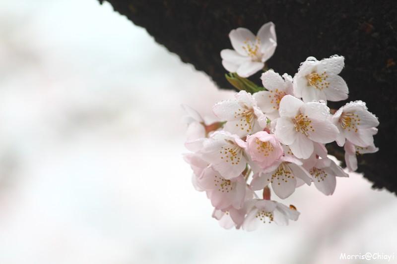 2011 阿里山櫻花季 (129)