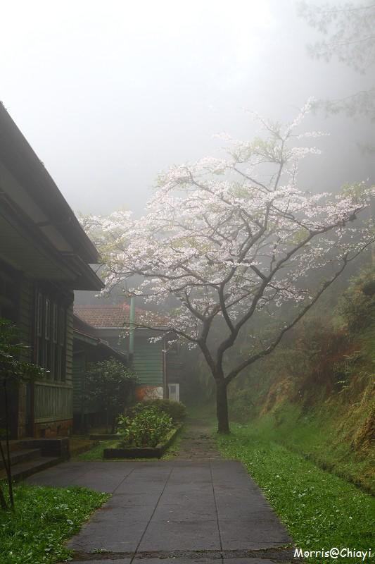 2011 阿里山櫻花季 (107)